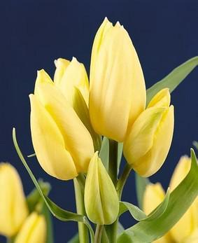 Tulip BUN 'Hans Dietrich Gencher'