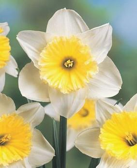 Narcissus SIN 'Ice Follies'