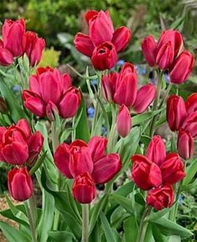 Tulip BUN 'Merry Go Round'