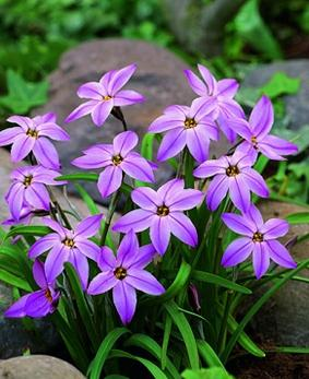 Ipheion 'Charlotte Bishop'