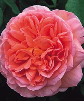 Роза 'Abraham Darby'