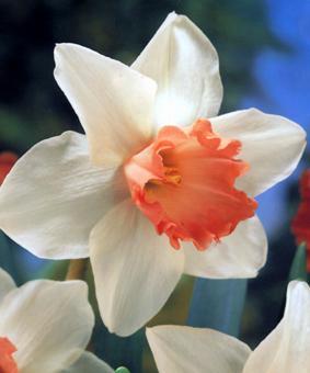 Narcissus 'Accent'