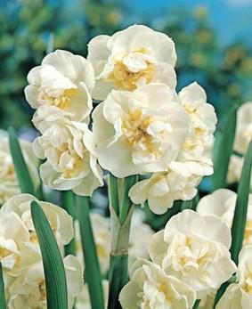 Narcissus DBL 'Calgary'