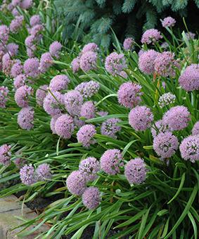 Allium 'Summer Beauty'