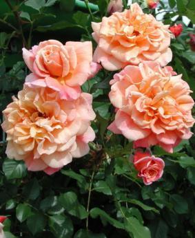 Роза 'Aloha'