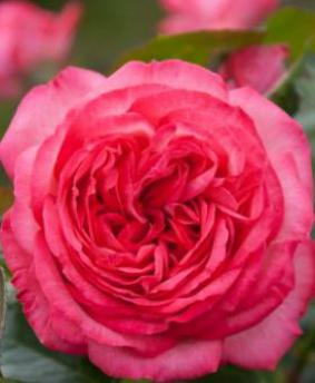 Роза 'Antike'