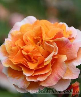 Роза 'Arabia'