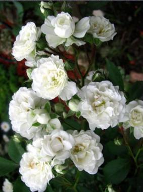 Роза 'Arctica'
