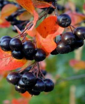 Aronia melanocarpa - Черноплодка