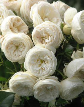 Роза 'Artemis'