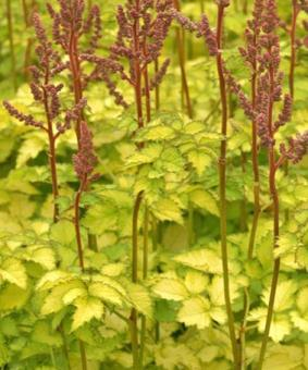 Astilbe chinensis 'Colour Flash Lime' TM ('Beauty of Lisse' )