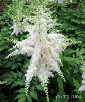 Astilbe chinensis 'Milk & Honey'