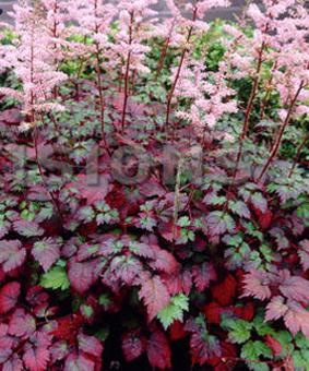 Astilbe chinensis 'Colour Flash Super' TM ('Beauty of Ernst' )