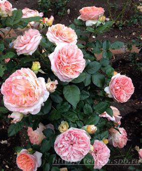 Роза 'Augusta Loise'