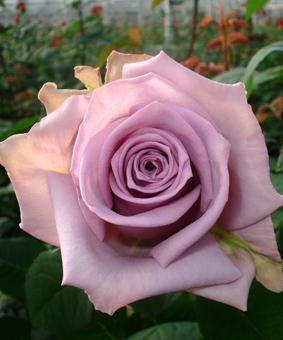 Роза 'Avant Garde'
