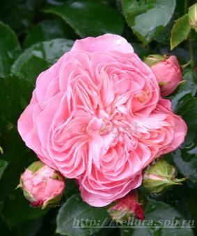 Роза 'Bailando'