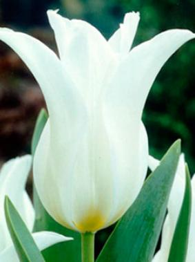 Tulip LIL 'Ballade White'