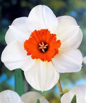 Narcissus 'Barrett Browning'