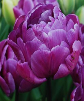 Tulip DBL 'Blue Diamond'