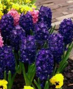 Hyacinth 'Blue Saphire'