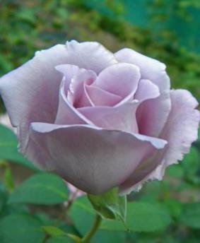 Роза 'Blue Summer'
