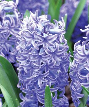 Hyacinth 'Blue Jacket'