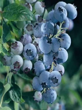 Vaccinium corymbosum 'Bluegold'