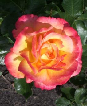 Роза 'Bonanza'