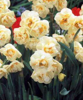 Narcissus 'Brigal Crown'