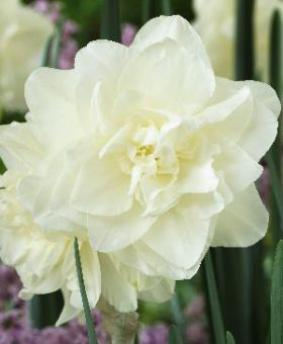Narcissus DBL 'Calgary'
