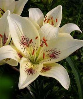 Lilium az Centerfold