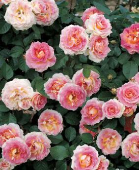 Роза 'Cesar'