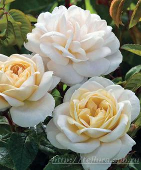 Роза 'Champagne Moment' syn 'Lyons Rose', 'Lion's Fairy Tale'