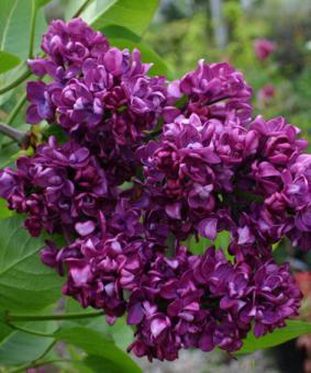 Syringa vulgaris 'Charles Joly'