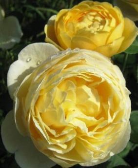 Роза 'Charlotte'