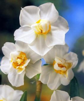 Narcissus SIN 'Cheerfulness'