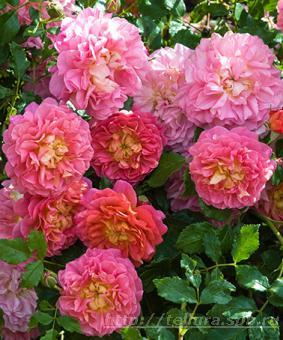 Роза 'Christopher Marlow'