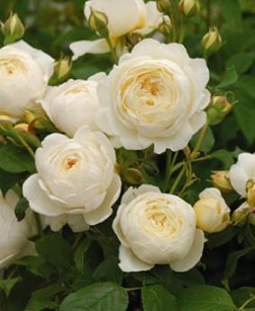 Роза 'Clair Austin'
