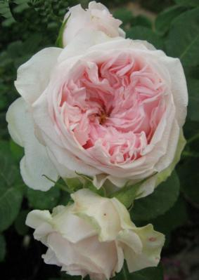Роза 'Claire Rose'