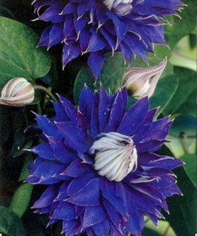 Clematis Multi Blue фото и описание