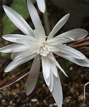 Colchicum autumnale 'Alboplena'