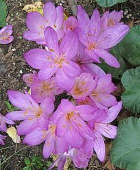 Colchicum 'Purpureum'
