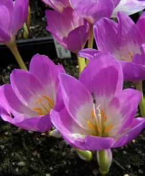 Colchicum 'Rosy Dawn'