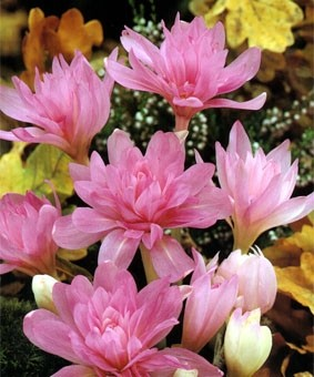 Colchicum 'Waterlily'