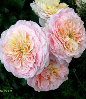 Роза 'Concerto 94'