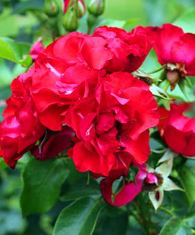 Роза 'Crimson Meidiland'