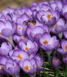 Crocus 'Barr's Purple'