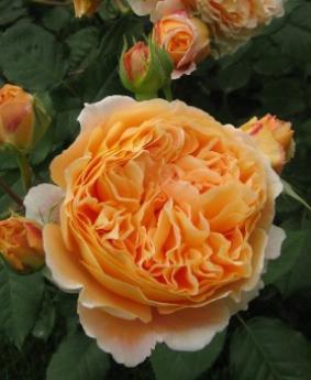 Роза 'Crown Princess Margaretha'