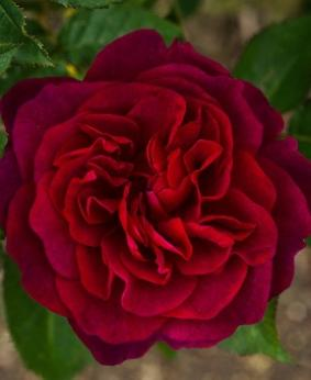 Роза 'Darcey Bussell'