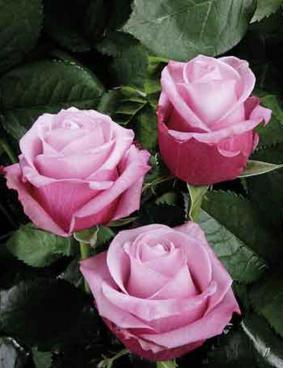Роза 'Deep Water'
